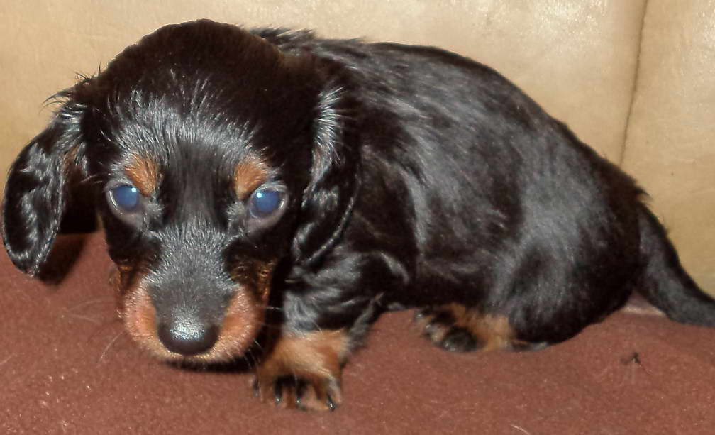 Long Haired Dachshund Puppies For Sale Petswithlove Us